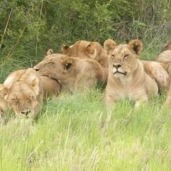 Leeuwen....