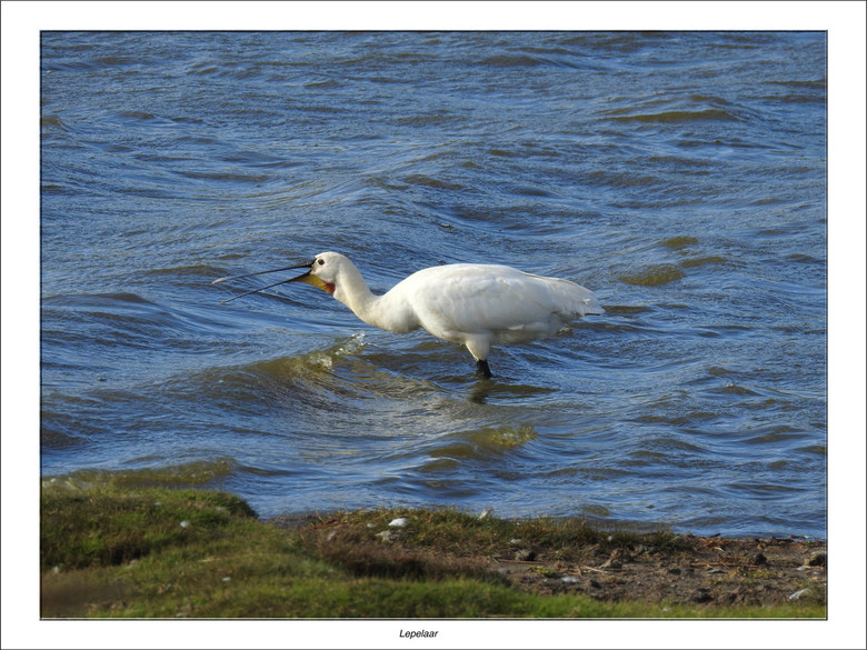 Lepelaar aan het vissen - De lepelaar is één van de beschermingssuccessen van Vogelbescherming. Rond 1970 waren er nog maar 170 broedpaar in ons land,