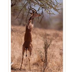 Gerenoek, Kenia