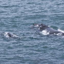 Walvis met kalf