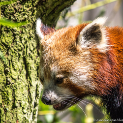 Rode of kleine panda (Ailurus fulgens)
