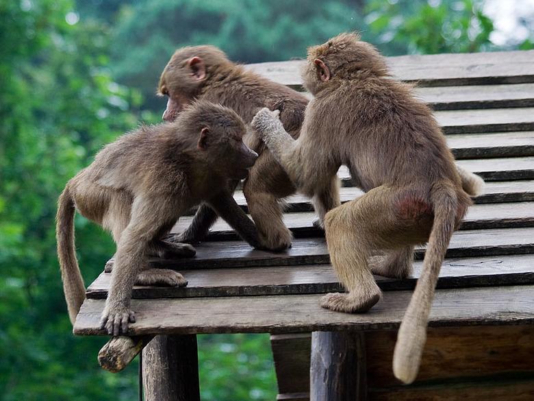 Kwajongens! - Even eentje uit de oude zomerfotodoos...<br /> Ik moest zo lachen om deze kwajongens in dierenpark Amerfoort! <br /> Ze waren echt kat