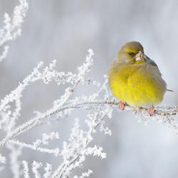 winterse groenling 2
