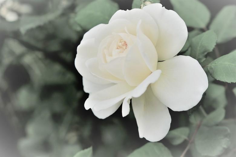 roos bewerkt - Een roos van vorig jaar. Bewerkt tot een sfeerplaatje.