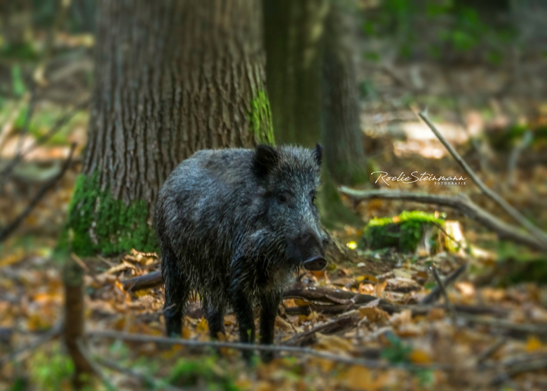boaring
