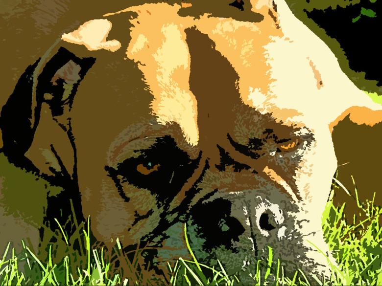 Een hondenleven . -  Dit is Faya, onze trouwe Bullmastiff,luierend in de zon.Bewerkt met Photoshop (posterize) en enkele kleuraanpassingen en belichti