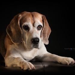 Beagle Kayne