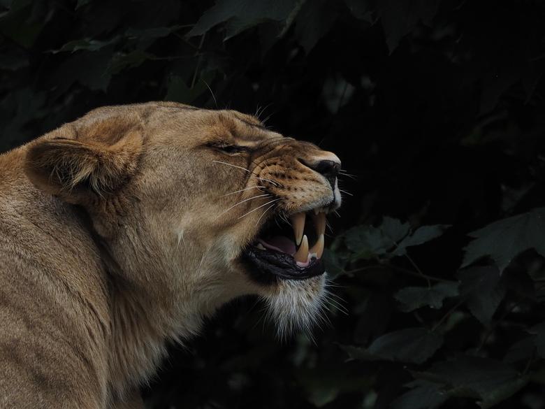 Boos is boos  - Zij was heel boos en waarom ???? Reactie op de de jonge leeuw achter het glas die Caesar moet gaan vervangen bij dochters in Artis. Vo