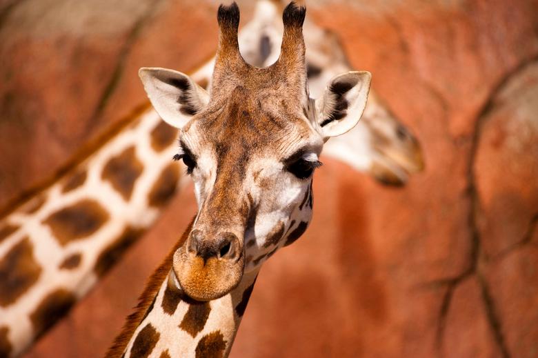 Giraffe - Deze foto is genomen in het GaiaPark.