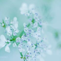 Flowers of the coriander, bloempjes van de koriander II