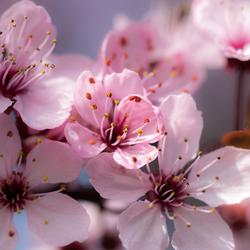 Bloesem - Japanse Sierkers (Prunus)