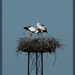 klepperen op het nest