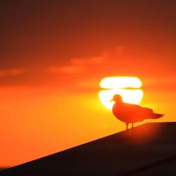 zeemeeuw voor de zon