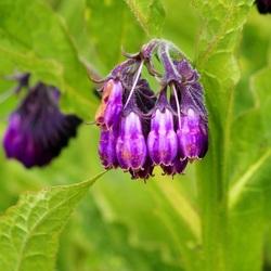 Gewone smeerwortel (Symphytum officinale)