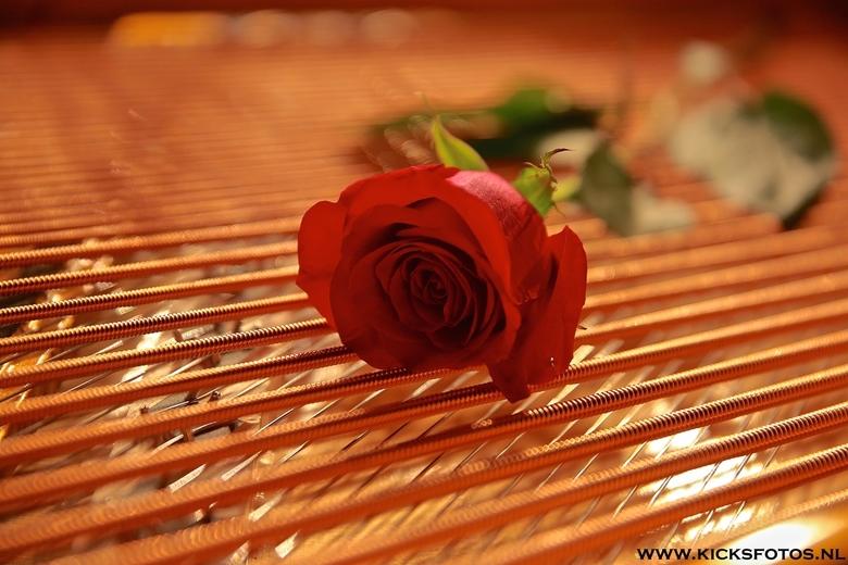 The strings - een rode roos op de snaren van de vleugel van Cor Bakker na afloop van het valentijn's concert wat hij gaf in het Crown thater same