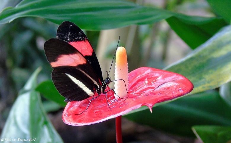 Heliconius Melpomene Rosina.. - De Heliconius Melpomene ( Rosina ) vliegt van Mexico tot aan Brazilië. Er zijn tientallen ondersoorten bekend. Ook van
