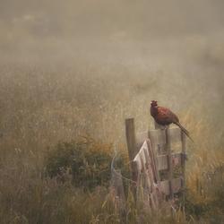 fazant in biesland