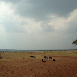 Wildebeesten