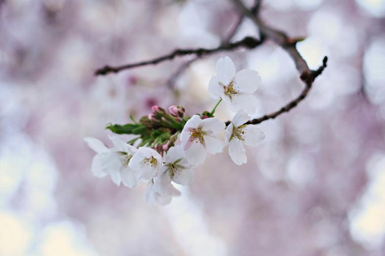 fairy tail tree - Afgelopen week foto's gemaakt onder een enorme boom vol bloesem. Het was net een sprookje zo mooi!