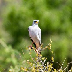Shikra - Samburu National Reserve