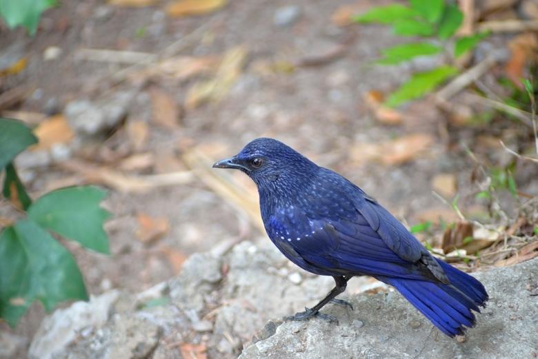 De blauwe vogel - Voor deze knapperd heb ik toch wel even mijn lenzen verwisseld, wat een schoonheid! Bovenop een berg in halong bay.