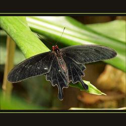 Zwarte vlinder