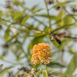 kolibrievlinder......een kans ..