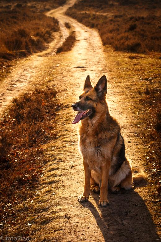 'golden dog' - Met moeite wou ze even voor mij poseren in het prachtige winterse zonlicht; liever rent ze dat pad af....<br /> Maar voor haar vrouwtj