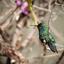 Kolibri Curacao