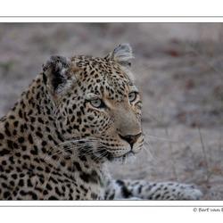 Luipaard, Zuid Afrika