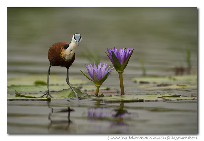 Lily Walker - De Afrikaanse jacana wordt in het Nederlands doorgaans de Lelieloper genoemd. En dat is de meest gepaste naam die men voor deze bijzonde