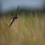 Een boeren zwaluw