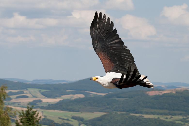 Adelaar - Deze adelaar fotografeerde ik in Duitsland. Ik had geluk dat het licht mooi op de vleugels viel èn dat ik de foto vanaf een iets hoger stand