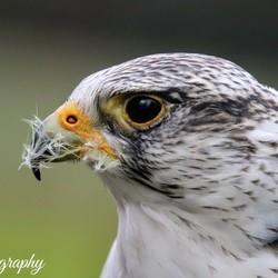 Prachtige roofvogel