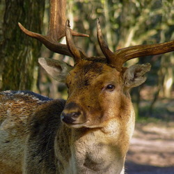 Damhert in het bos