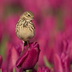 Pieper op de tulpen
