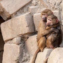 Echtpaar baviaan