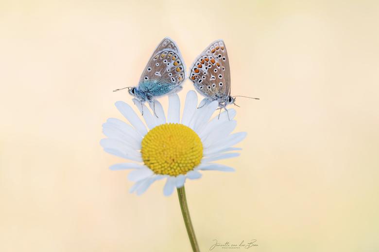 She loves me..she loves me not - Heerlijk om de vlindertjes weer te kunnen fotograferen, dit stel was er nog niet helemaal over uit of het echte liefd