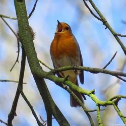 Roodborstje alias zangvogel;-)