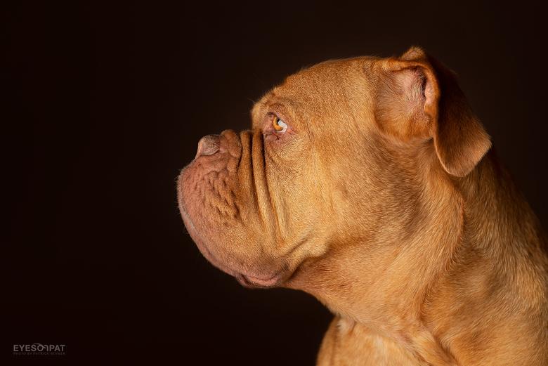 B I L L Y - Alle details zijn mooi te zien bij deze prachtige Bordeauxdog. Deze foto is gemaakt met Sigma 105mm f/1.4 Art
