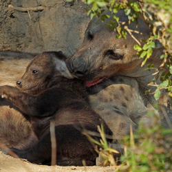 Liefdevol Hyena femail met jong