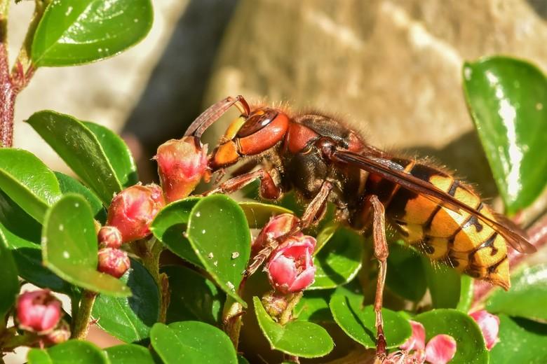 Hoornaar...... - doet zich tegoed aan de cotoneaster bloemetjes in het late zonlicht.<br /> Een stuk boomstam hebben ze al uit gevreten met een gat z