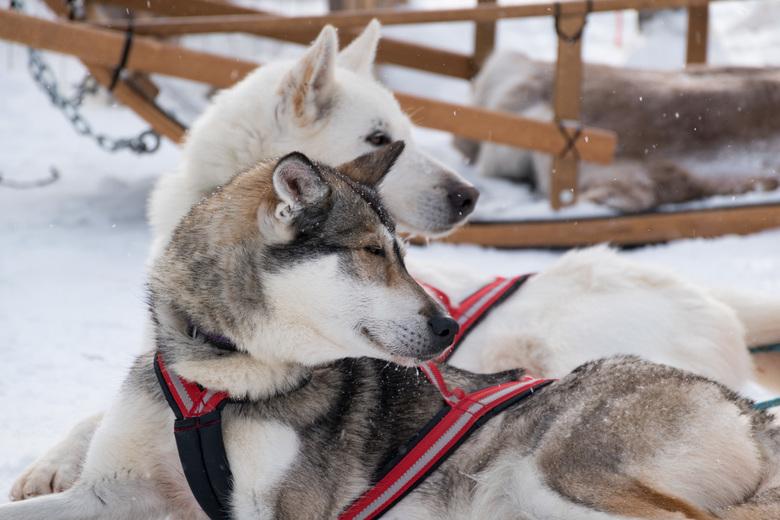Husky's_Finland_1 - Vakantie Fins Lapland. It's magical!! Veel moois gezien en veel gedaan, waaronder een slederit met husky's. Fantastische