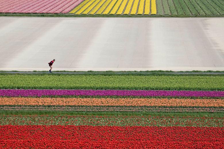 skeeleren tussen de bloemen - Een sporter tussen het lijnen- en kleurenspel van bloeiende tulpen