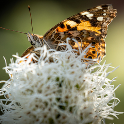 Distelvlinder op Liatris Spicata (lampenpoetser)