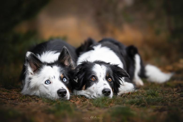 Freddie & Zoey - Honden (Border Collies) Freddie & Zoey liggen lief samen met op de achtergrond prachtige zachte herfstkleuren. Wat doen hun o