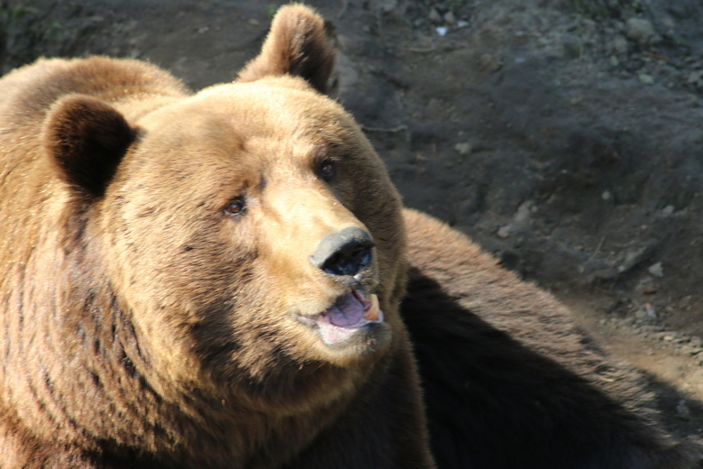 """de bruine beer - deze zat ongeduldig op zijn vieruurtje te wachten ! <img  src=""""/images/smileys/wilt.png""""/> de ontbrekende hoektand viel meteen op , z"""