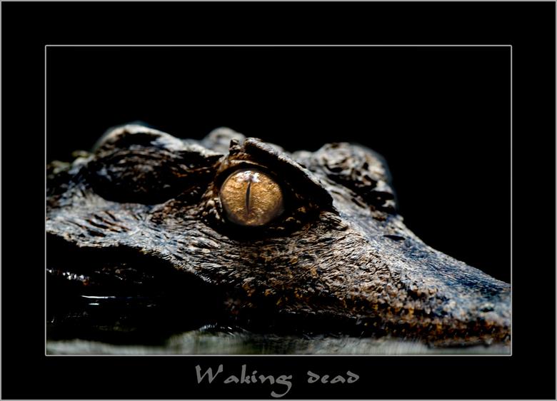 De dood ligt op de loer ...... - Krokodillen leven in de warme streken van Afrika, Azie, Amerika en Australie. Het zijn koudbloedige dieren, dat wil z