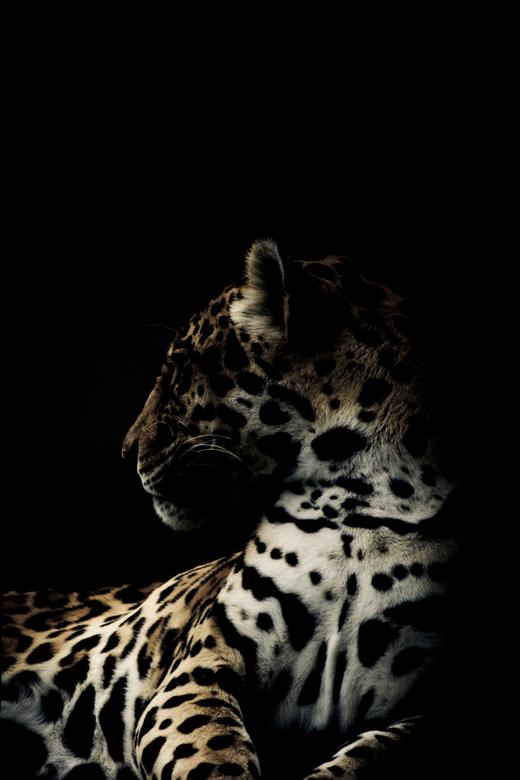 Panter - Een prachtig dier om te fotograferen en dit is het resultaat!