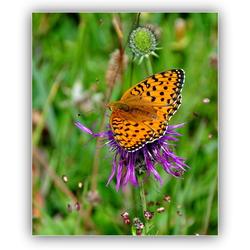 Purperstreep parelmoervlinder...